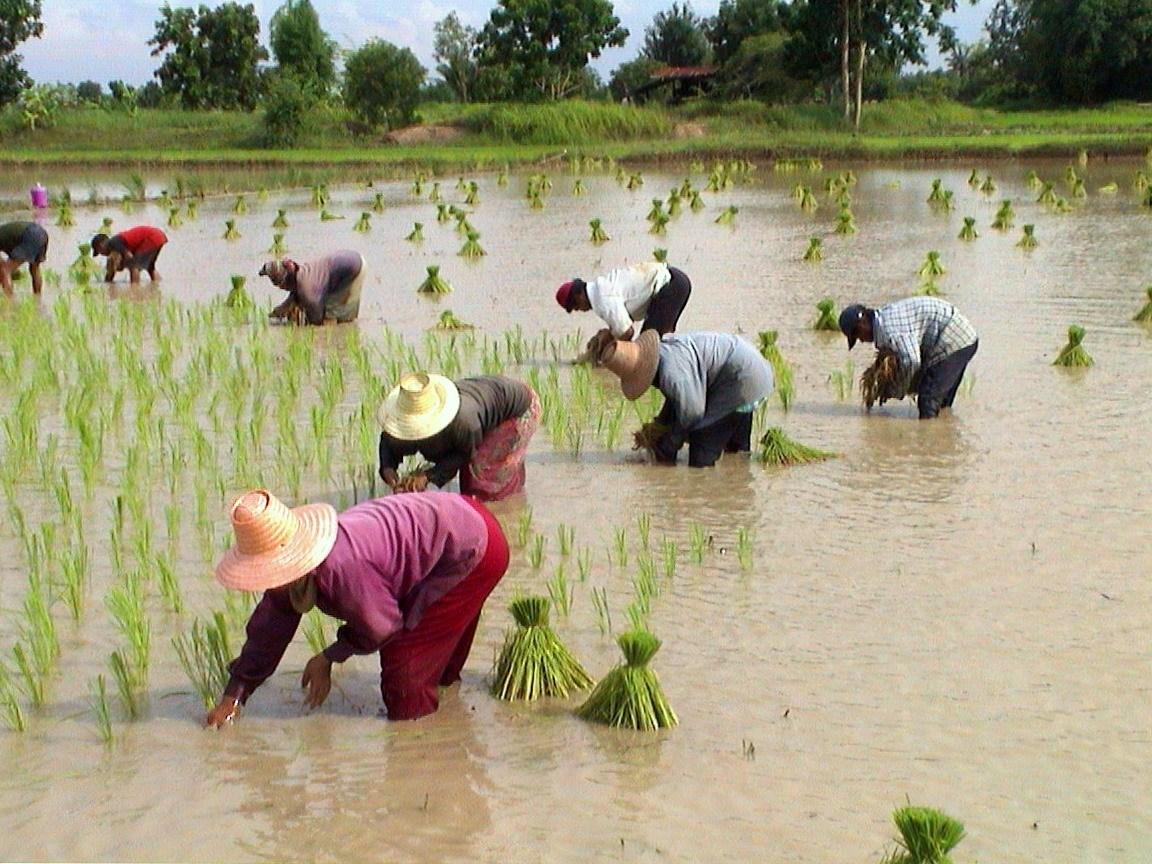 Thai farmers income on the rise
